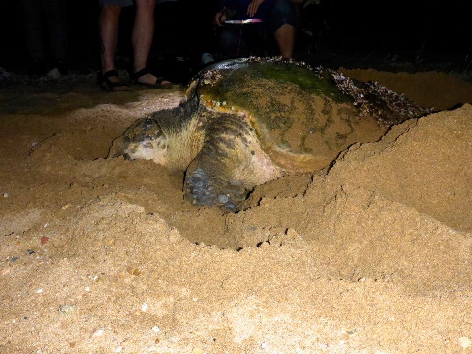 Side view of a sea turtle in the sand